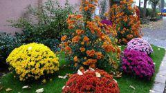 Как выращивать шаровидные хризантемы