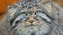 How to keep Pallas ' cat at home