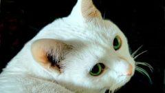 Почему говорят, что белые коты глухие