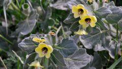 Белена - смертельно опасное растение?