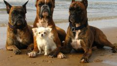 Какая собака лучший телохранитель