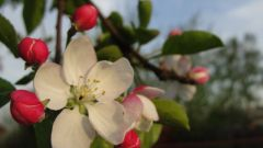 When blooming Apple trees