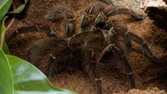 Какой самый большой паук в мире