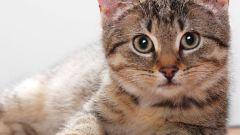 Как вычислить срок родов у кошки