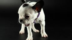 What to do if a puppy does not give to pet