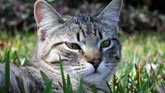 Когда кастрировать кота