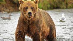 Какой медведь самый большой в мире