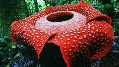 Какой цветок в мире самый большой