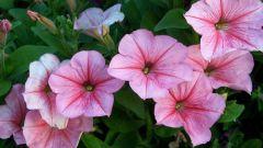 Вредители комнатных растений: трипсы