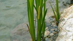 Чем полезен аир болотный