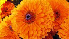10 достоинств, из-за которых надо посадить календулу