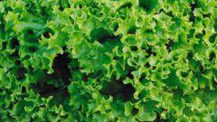 Выращиваем кресс-салат на подоконнике
