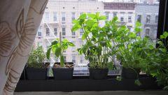 Как вырастить кресс-салат дома на подоконнике
