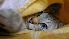 Рекордсмены среди кошек