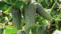 Why do cucumbers taste bitter?