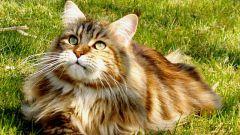 Самая крупная порода кошек