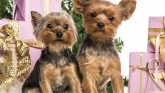 How to buy a Yorkshire Terrier