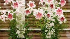 Выгонка лилий в домашних условиях