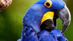 Какой самый крупный попугай в мире