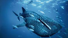 Какая акула самая большая
