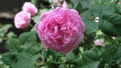 What soil is the right roses