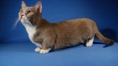 Какие породистые кошки самые маленькие