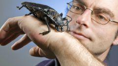 Все о жука-гигантах