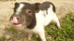 Как купить мини-свинку
