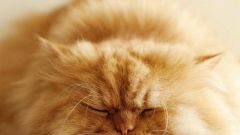 How to come up with the name of the Persian cat