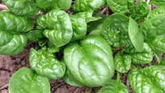 Выращиваем шпинат