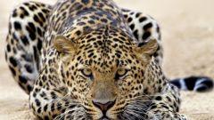 Как сделать леопардовую коробочку