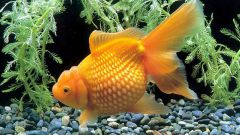 Как размножаются золотые рыбки