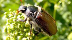 Как размножаются майские жуки и где они живут