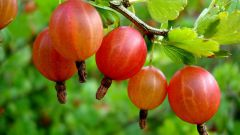 How to make homemade wine from gooseberries