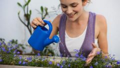 Как развести голубиный помет для поливки комнатных растений
