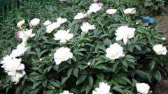 Выращиваем в саду царские цветы