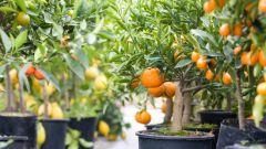 Как ухаживать за апельсином