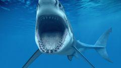Сколько зубов у акулы