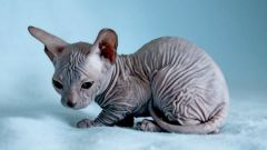 Как выбрать котенка донского сфинкса