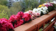 Какие балконные цветы самые популярные