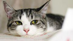 Как лечить воспаленные лимфоузлы у кота