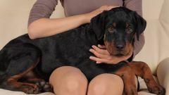 Как усыпить собаку в домашних условиях