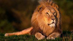 Почему льва называют царем зверей