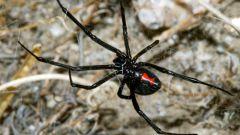 Чем знаменит паук