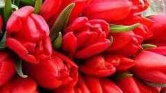 Как вырастить тюльпаны дома зимой