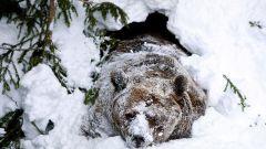 Почему медведи ложатся в спячку
