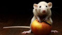 Как содержать белую крысу