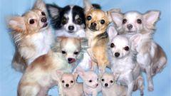Как кормить и ухаживать за беременными собачками