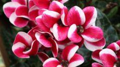 Бальзамин: уход за любимым растением
