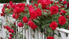 6 ошибок, которые розы не прощают